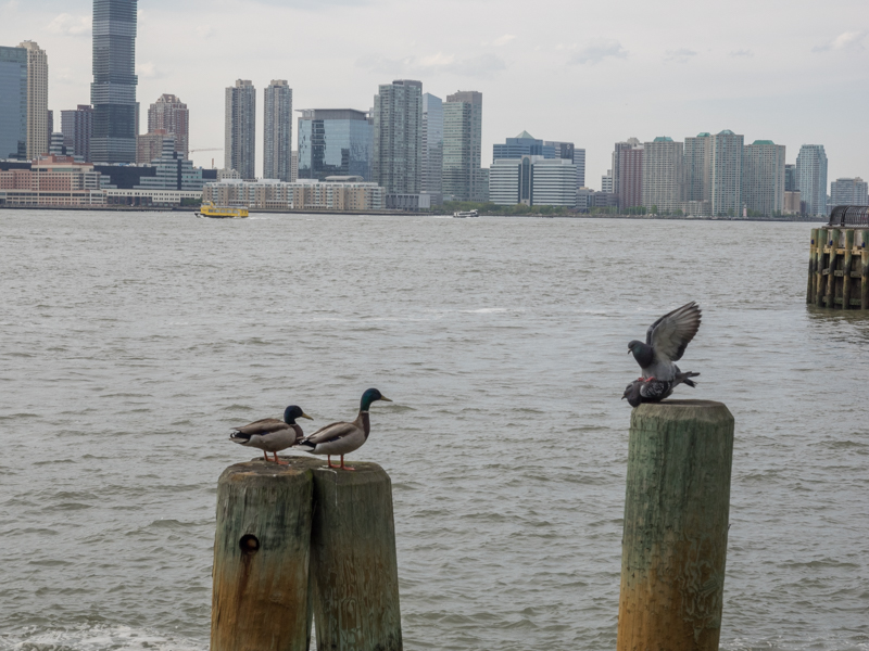Hudson River ducks doves